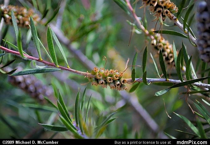 Eucalyptus Tree Picture 007