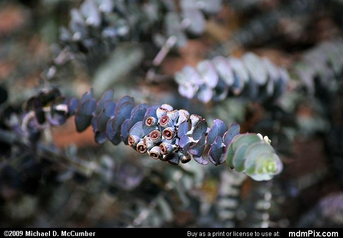 Eucalyptus Tree Picture 008