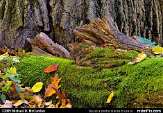 Fallen Moss Covered Log with Tree Trunk