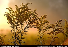 Dew Covered Goldenrod with a Foggy Sunrise