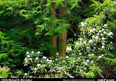 Eastern Hemlock with White Flowering Rhododendrons