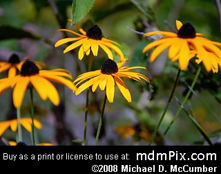 Black-Eyed Susan (Wildflowers) picture