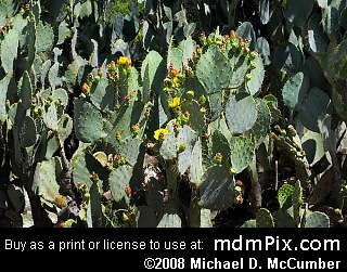 Prickly Pear Cactus Picture