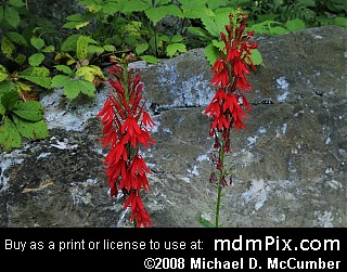 Cardinal Flower Picture