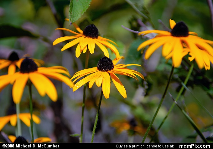 Black-Eyed Susan (Black-Eyed Susan Picture 022 - September 2, 2007 from Dunbar Township, Pennsylvania)