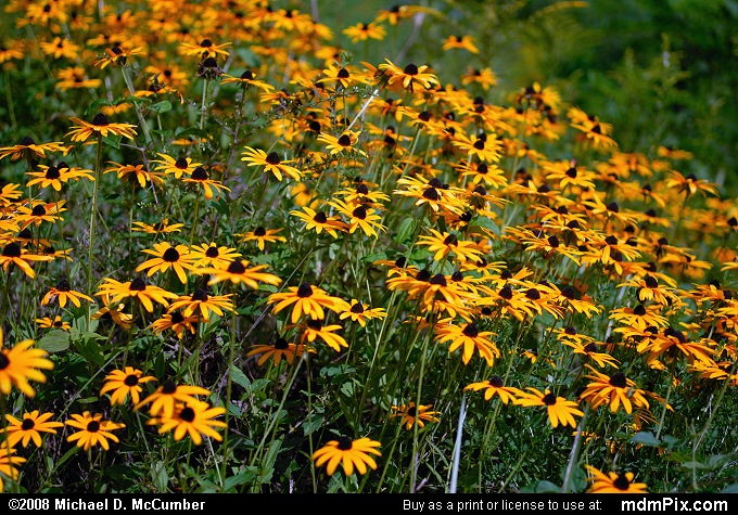 Black-Eyed Susan (Black-Eyed Susan Picture 023 - September 2, 2007 from Dunbar Township, Pennsylvania)