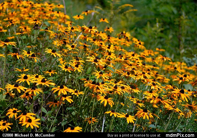 Black-Eyed Susan (Black-Eyed Susan Picture 024 - September 2, 2007 from Dunbar Township, Pennsylvania)