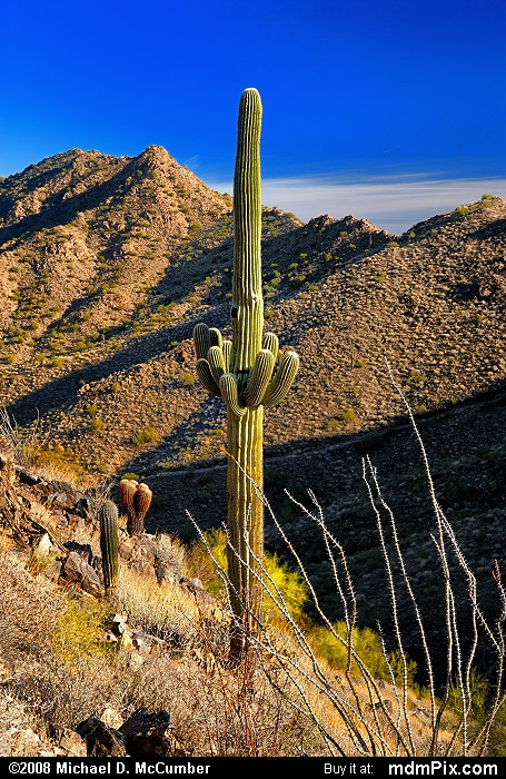 Saguaro Cactus (Saguaro Cactus Picture 047 - December 20, 2008 from San Tan Mountain Regional Park, Arizona)