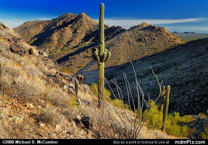 Saguaro and Ocotillo Cactus in San Tan Mountains