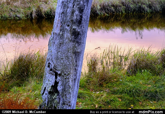 Snag Tree Close-up in Canaan Valley Bog