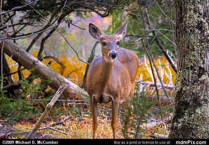 Whitetail Doe in Canaan Valley