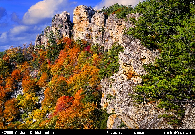 Trees Dwarfed by Falcon Cliff on North Fork Mountain