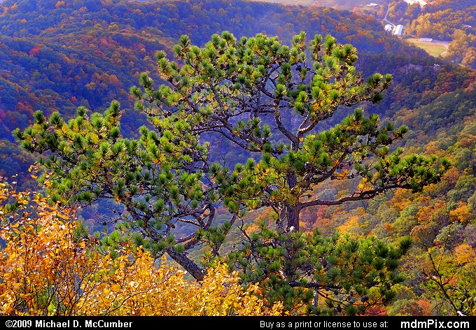 Red Pine (Red Pine Picture 108 - October 13, 2009 from Spruce Knob/Seneca Rocks National Recreation Area)