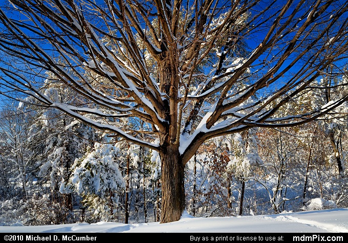 Dormant Ash Tree Shrouded with Winter's Snow