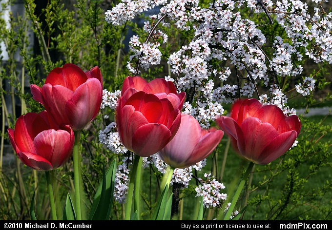 Easter Flower Mix of Tulips and Cherry Blossoms