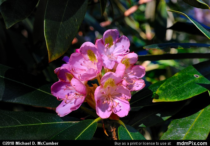 Rhododendron (Rhododendron Picture 041 - July 2, 2010 from Coopers Rock State Forest, West Virginia)