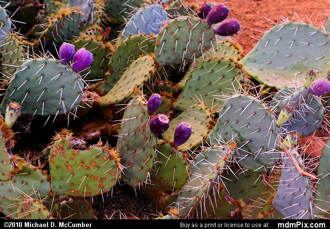 Prickly Pear Cactus (Prickly Pear Cactus Picture 061 - September 20, 2010 from Sedona, Arizona)