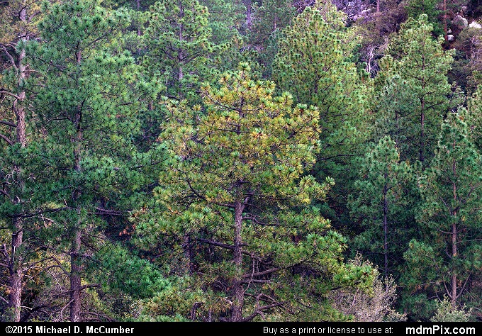 Ponderosa Pines on Pinal Mountain at Dusk