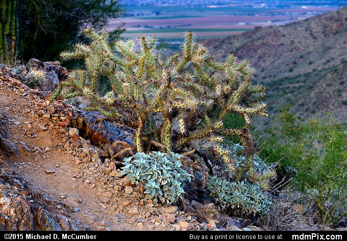 Staghorn Cholla Cactus (Staghorn Cholla Cactus Picture 029 - February 21, 2015 from San Tan Mountain Regional Park, Arizona)
