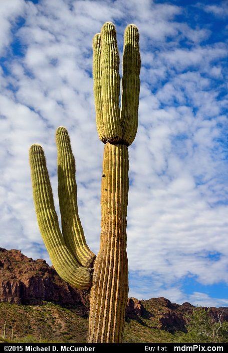 Saguaro Cactus (Saguaro Cactus Picture 007 - February 22, 2015 from San Tan Mountain Regional Park, Arizona)