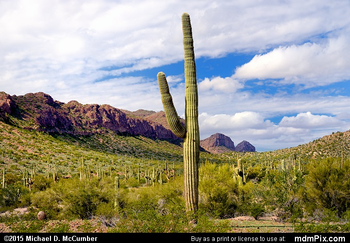 Saguaro Cactus (Saguaro Cactus Picture 024 - February 22, 2015 from San Tan Mountain Regional Park, Arizona)