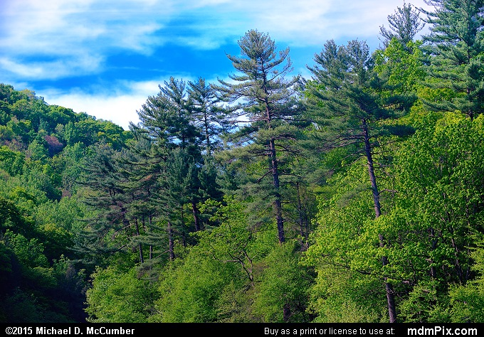 Eastern White Pine (Eastern White Pine Picture 016 - May 14, 2015 from Ohiopyle State Park, Pennsylvania)