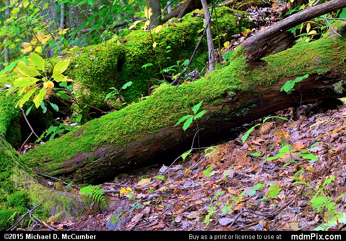 Moss (Moss Picture 051 - October 8, 2015 from Ohiopyle State Park, Pennsylvania)
