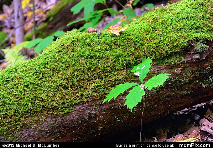 Moss (Moss Picture 052 - October 8, 2015 from Ohiopyle State Park, Pennsylvania)