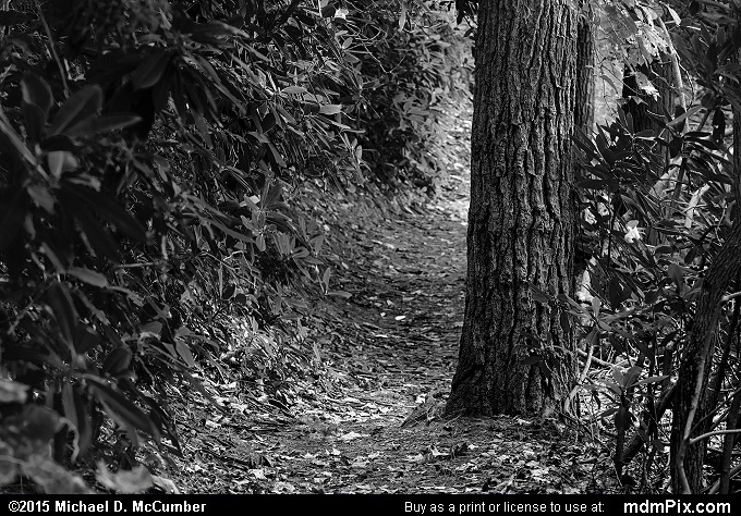 Ferncliff Trail (Ferncliff Trail Black and White Picture 056 - October 8, 2015 from Ohiopyle State Park, Pennsylvania)