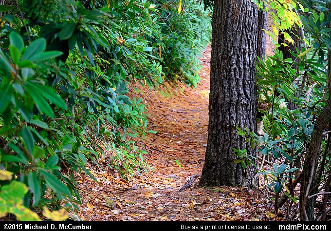 Ferncliff Trail (Ferncliff Trail Picture 057 - October 8, 2015 from Ohiopyle State Park, Pennsylvania)