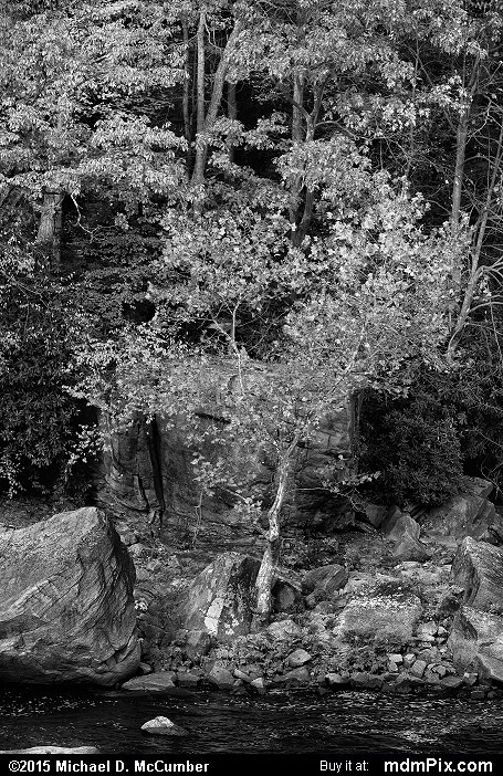 American Sycamore Tree (American Sycamore Tree Black and White Picture 029 - October 22, 2015 from Ohiopyle State Park, Pennsylvania)