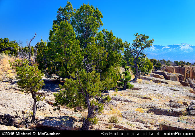 Juniper (Juniper Picture 025 - March 21, 2016 from Los Alamos, New Mexico)