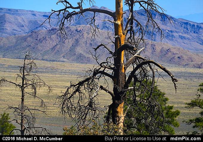 Snag Tree (Snag Tree Picture 020 - March 25, 2016 from Organ Mountains-Desert Peaks National Monument, New Mexico)