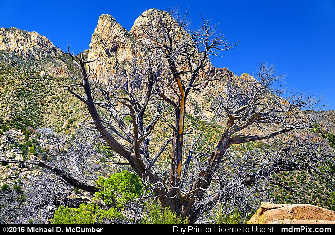 Snag Tree (Snag Tree Picture 048 - March 25, 2016 from Organ Mountains-Desert Peaks National Monument, New Mexico)