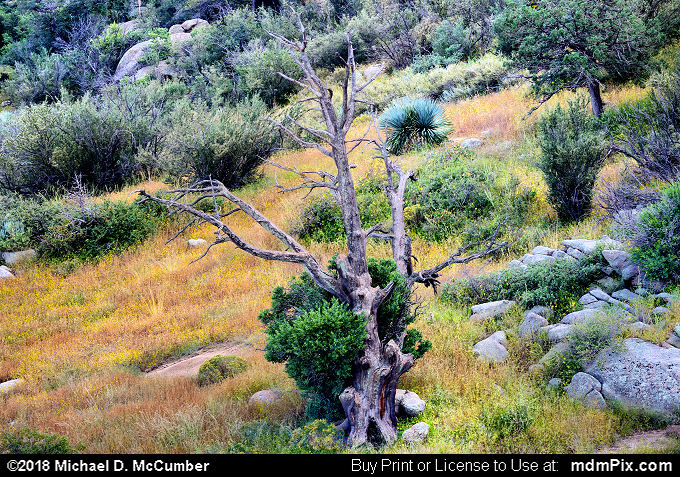 Snag Tree (Snag Tree Picture 010 - October 1, 2016 from Organ Mountains-Desert Peaks National Monument, New Mexico)
