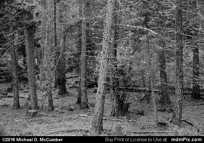 Montane Forest Understorey (Montane Forest Understorey Black and White Picture 015 - October 2, 2016 from Sunspot, New Mexico)