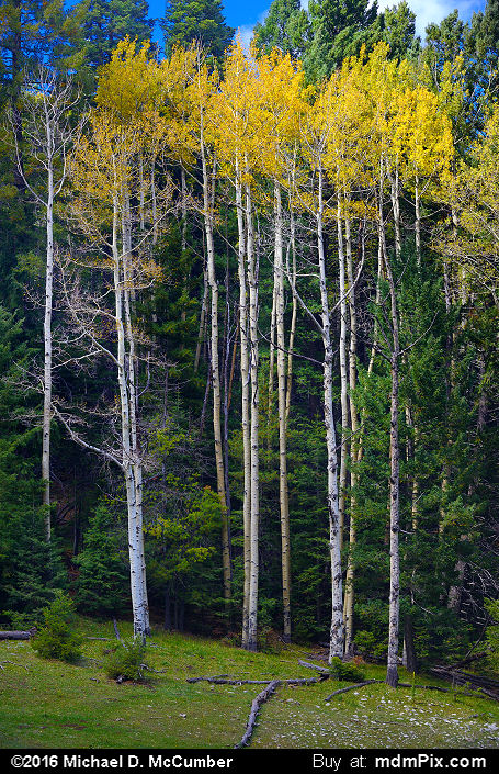 Aspen Tree (Aspen Tree Picture 050 - October 2, 2016 from Upper Karr Recreation Area, New Mexico)
