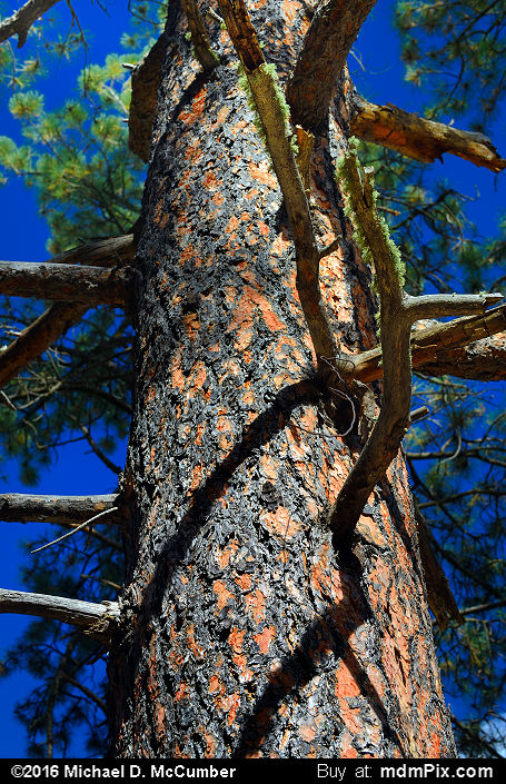 Ponderosa Pine (Ponderosa Pine Picture 078 - October 2, 2016 from Cloudcroft, New Mexico)