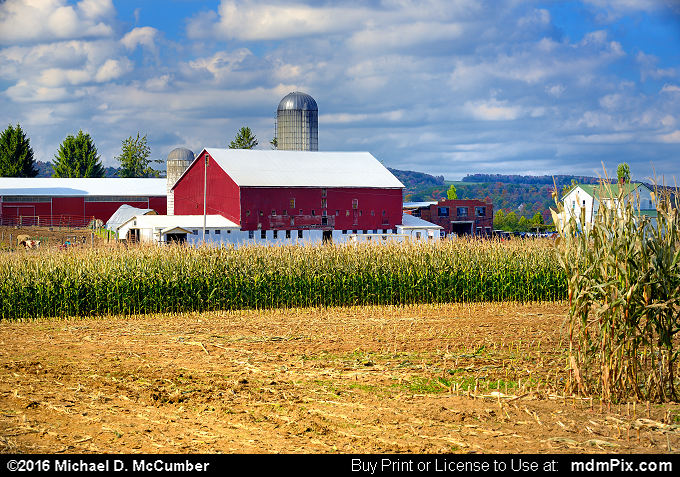 Remaining Corn Stalks at an Amish Farm
