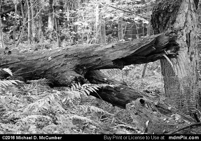 Log (Log Black and White Picture 127 - October 19, 2016 from Laurel Hill State Park, Pennsylvania)