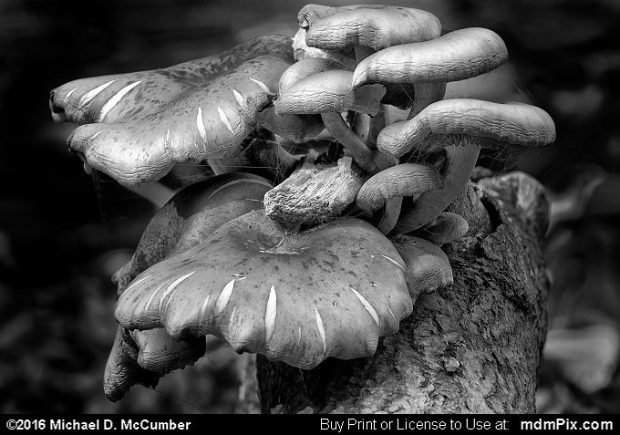 Brick Cap Mushroom Hypholoma Sublateritium (Brick Cap Mushroom Hypholoma Sublateritium Black and White Picture 024 - October 29, 2016 from Ohiopyle State Park, Pennsylvania)