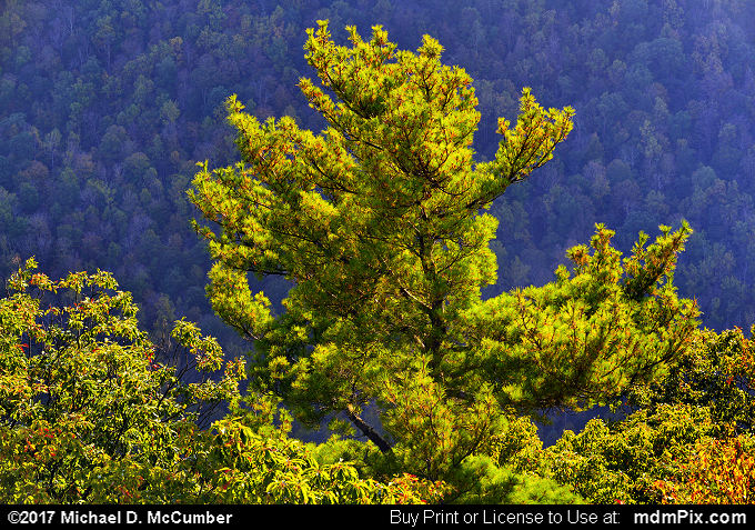 Eastern White Pine (Eastern White Pine Picture 055 - October 14, 2017 from Coopers Rock State Forest, West Virginia)