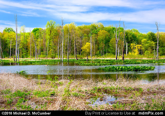 Lake Wilhelm Wetland (Lake Wilhelm Wetland Picture 002 - May 17, 2018 from Maurice K Goddard State Park, Pennsylvania)